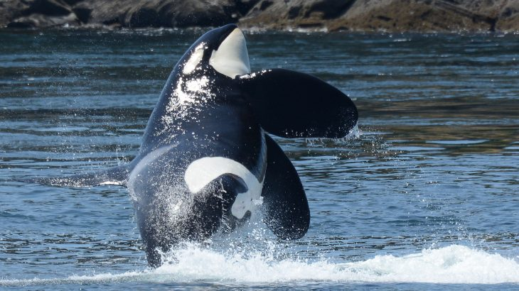 Bombarded by threats like shipping traffic and Chinook salmon declines, southern resident killer whales were declared endangered in 2005.