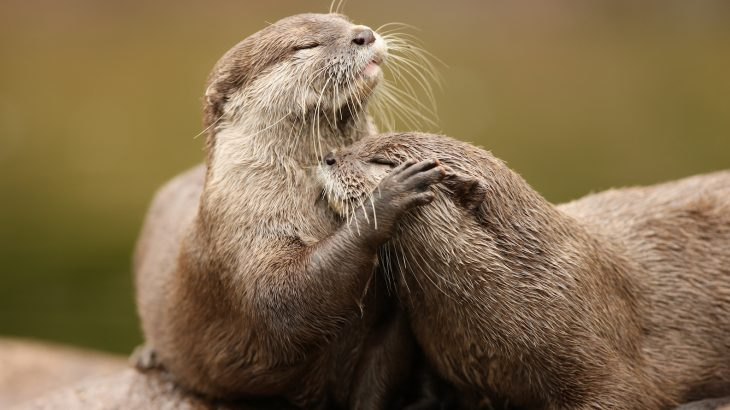 Recent findings suggest that the pet trade is a growing and urgent threat to Asian small-clawed and Smooth-coated otters.