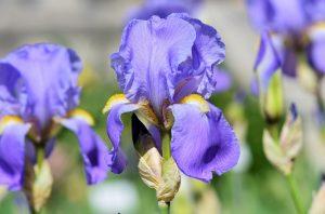 bearded iris flower