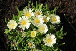 Sedum, flower, stonecrop