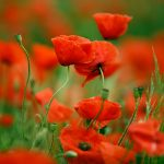 Poppy flowers may have evolved to grow in a handful of bright colors to attract pollinators.