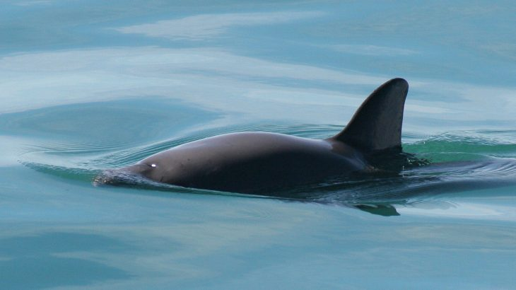 The dwindling number of vaquitas is the result of a small population in a small geographic area pushed by dangerous fishing practices.