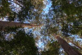 A look at the tallest trees in California, Tasmania and Borneo and the rates of deforestation in those areas that may threaten them.