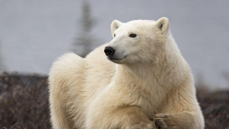 In northern Russia, dozens of polar bears are terrorizing communities across the Novaya Zemlya archipelago.