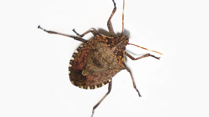 Brown marmorated stink bugs cannot enter into slits less than 3 millimeters wide and holes less than 7 millimeters wide.