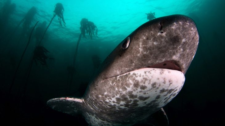 The disappearance of great white sharks off the coast of South Africa has made room for the unexpected appearance of sevengill sharks.