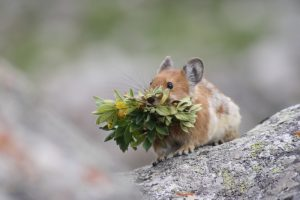 Pika with a bundle of small plants in its mouth sitting on a rock with a blurry background.
