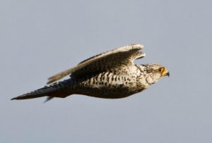 A gyrfalcon in the air with wings extended on a blue gray sky.