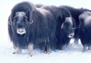 Adult musk oxen in a group on snow. One musk ox looks at the camera.