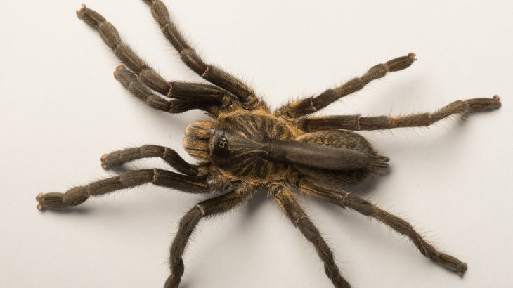 A new tarantula species recently discovered by researchers in Angola comes equipped with a horn on its back.