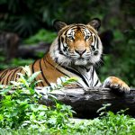 Global tiger populations have been on a steep decline as poaching, habitat loss and human-wildlife conflict continue to decimate the species.