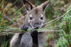 Australia's native mammals rely on the balance indigenous hunters bring to the continent's food webs.