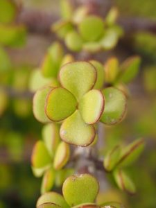 penny tree jade plant