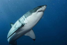 The entire genome of the great white shark has been decoded in an important step in conserving the declining species.