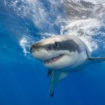 A new study from the National Institute of Polar Research in Japan has found that sharks slow down dramatically when they are hungry and ready to pounce on their prey.