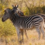 Researchers have found evidence to suggest that zebras developed their stripes to ward off blood-sucking parasites.
