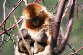 Researchers observed golden snub-nosed monkey infants being nursed by a monkey other than its mother during a five-year field study.