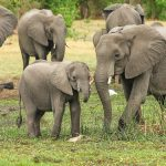 elephants Africa family