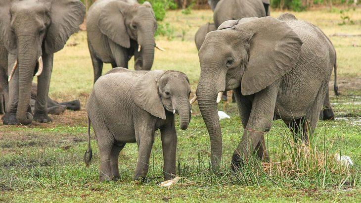 elephants Africa family