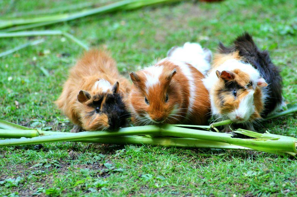 guinea pig low maintenance pet