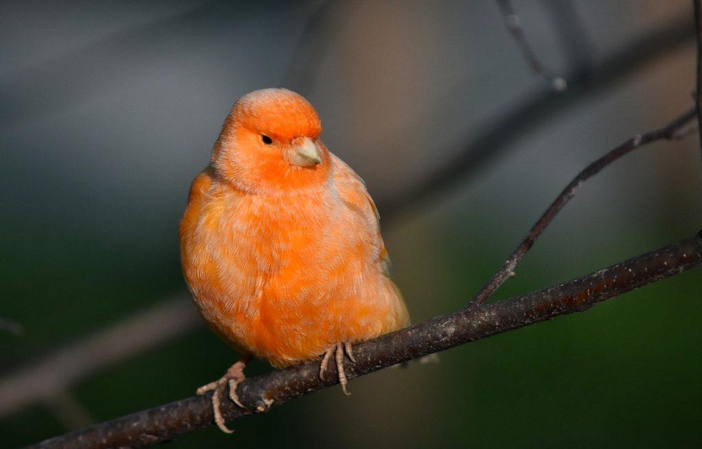finch pet canary low maintenance