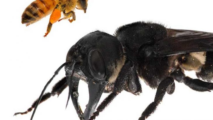 In a rare sighting, a team of intrepid researchers spotted the world's largest bee species living in a termite nest in Indonesia in January.