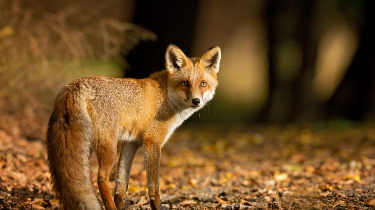 Scientists have identified the remains of both dogs and foxes who are believed to have been domesticated because their diet was similar to that of their owners.
