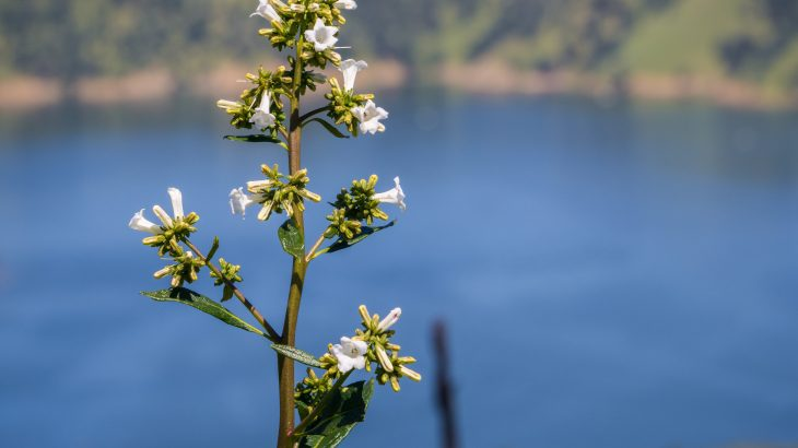 The Yerba santa shrub native to California has promising anti-inflammatory properties that new research shows could potentially treat Alzheimer's.