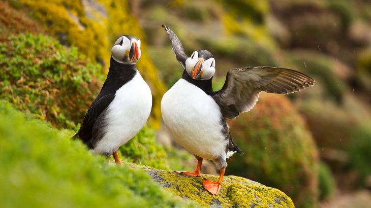 Word that the puffin population has increased is especially welcome news after it was reported in May 2018 that the numbers were down by 12 percent.