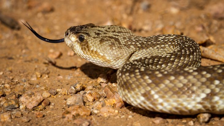 When desert snakes encounter an obstacle, they bounce off the barrier and change direction like light waves.