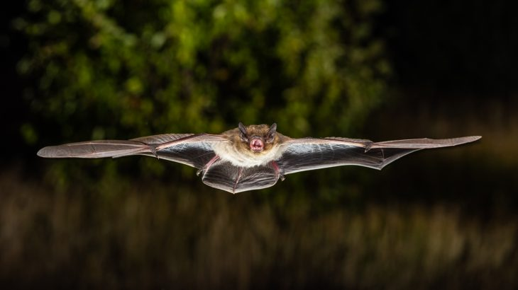 A study led by scientists at the Leibniz Institute for Zoo and Wildlife Research describes how migrating bats have mastered their own style of cruise control.
