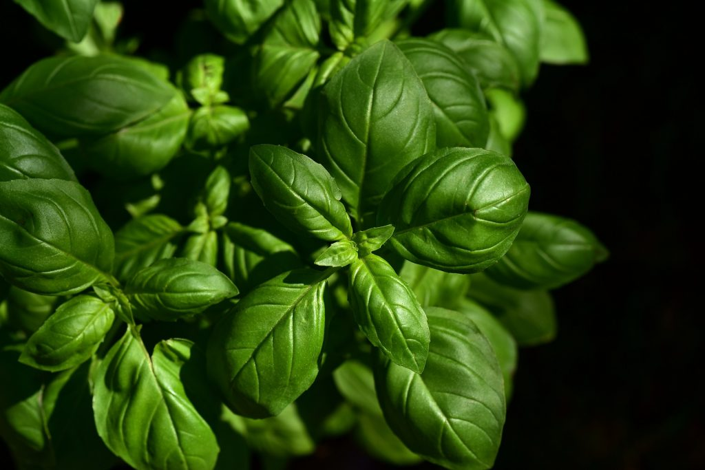 Bushy basil plant on a black background