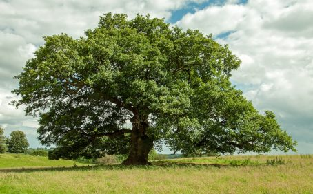 Scientists from six universities are reporting that native British oak trees are becoming increasingly vulnerable to pests and climate change.