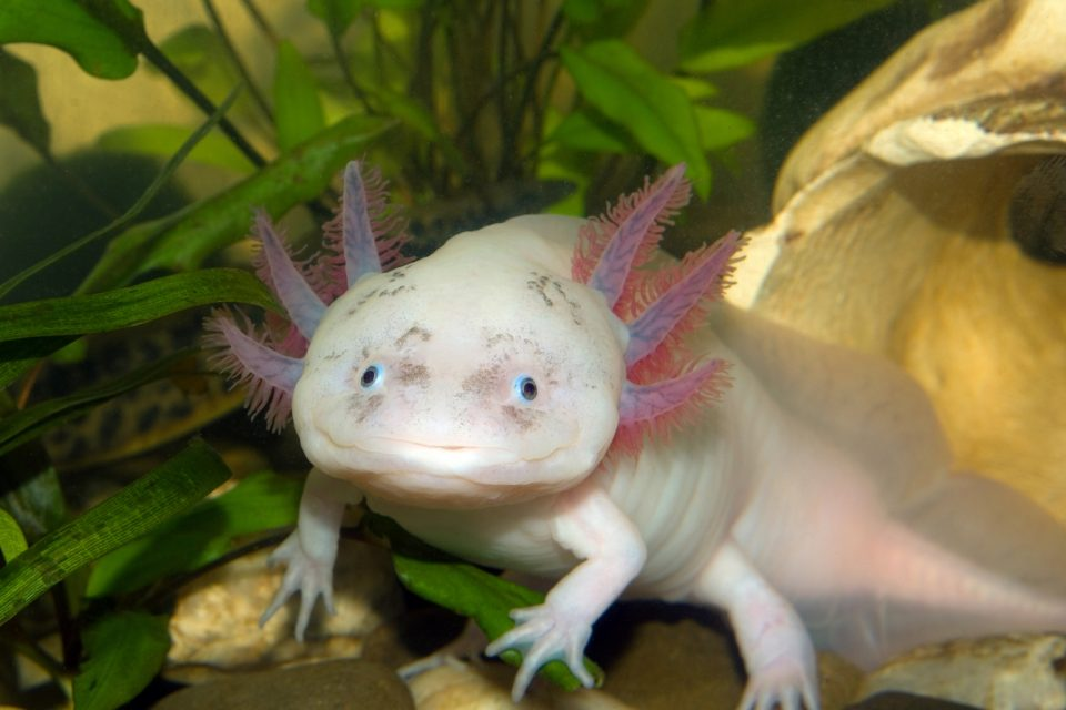 Axolotls have, through a series of arcane evolutionary twists, found a form of eternal youth. Or something approaching it.