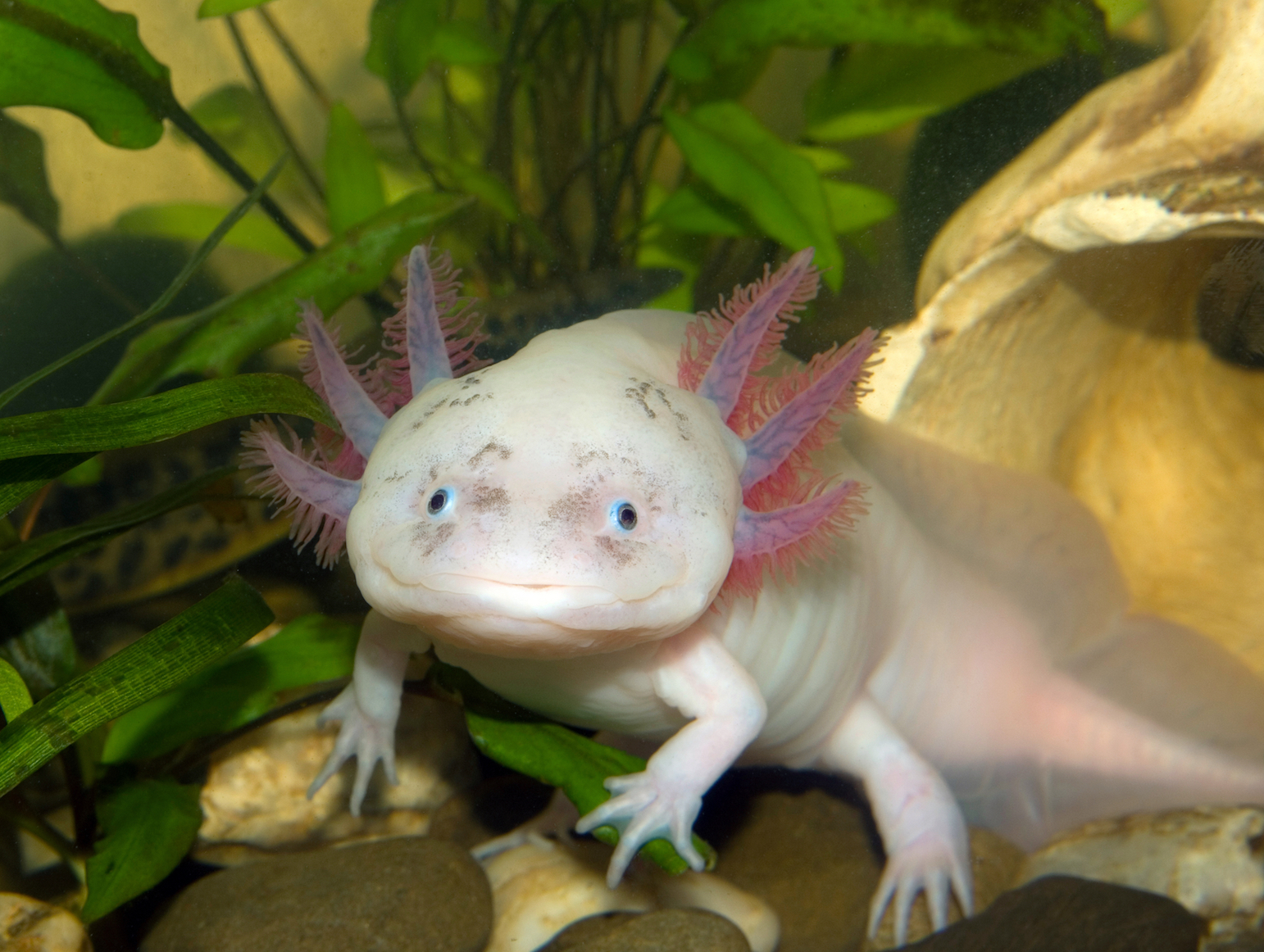 The salamanders that found a form of eternal youth are now in danger •  Earth.com