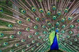 peacock decadence evolution