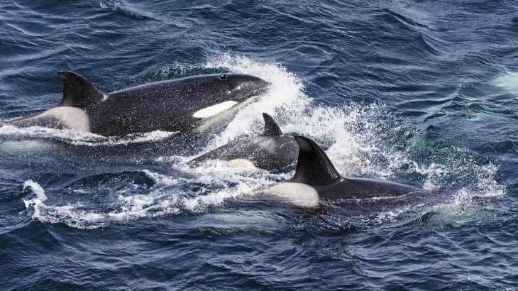 Scientists have discovered that Britain's killer whales may be headed for extinction after chemical pollutants have caused the females to become sterile.