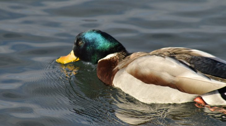 Researchers from Yale University are studying the ultra-sensitive skin found on duck and waterfowl bills in an effort to better understand how human touch works.