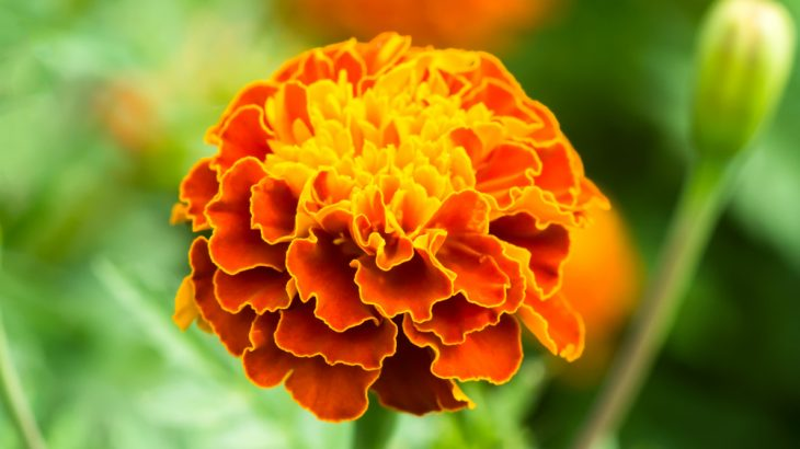 A new study has shown that marigolds really do repel a common tomato pest, thanks to the chemical limonene.