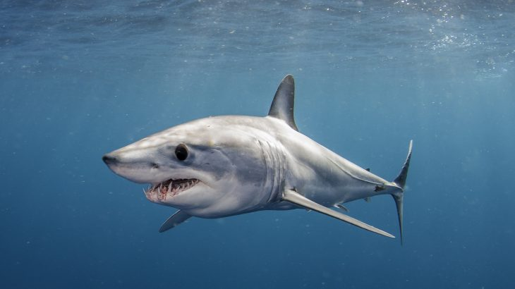 "Shortfin mako sharks can zip through the water at estimated speeds of 70 to 80 miles per hour, which is why they're called the ""cheetahs of the ocean."""