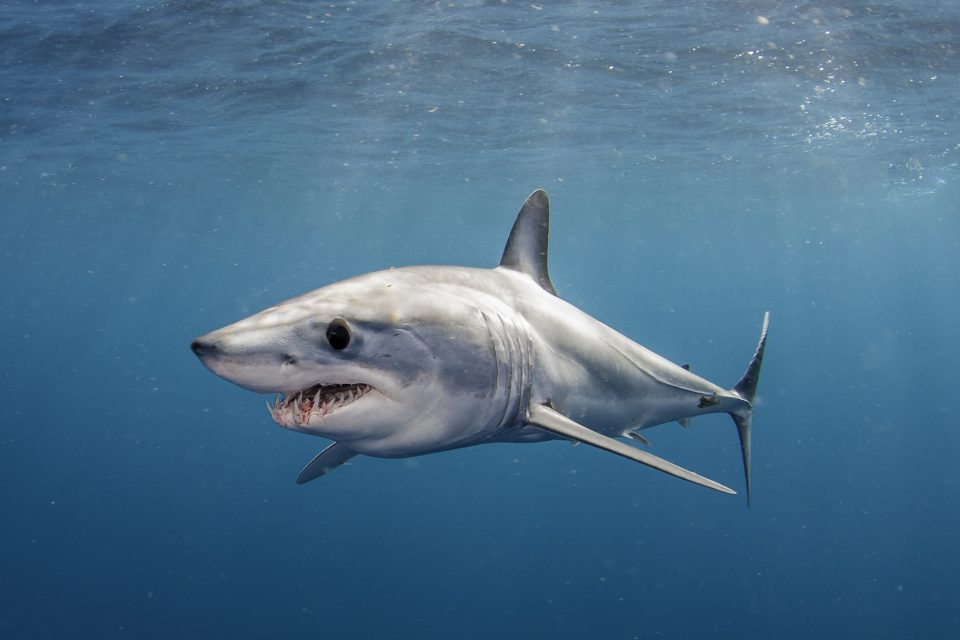 """Shortfin mako sharks can zip through the water at estimated speeds of 70 to 80 miles per hour, which is why they're called the """"cheetahs of the ocean."""""""