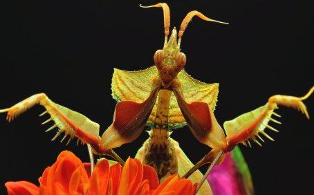 A praying mantis on a orange flower.