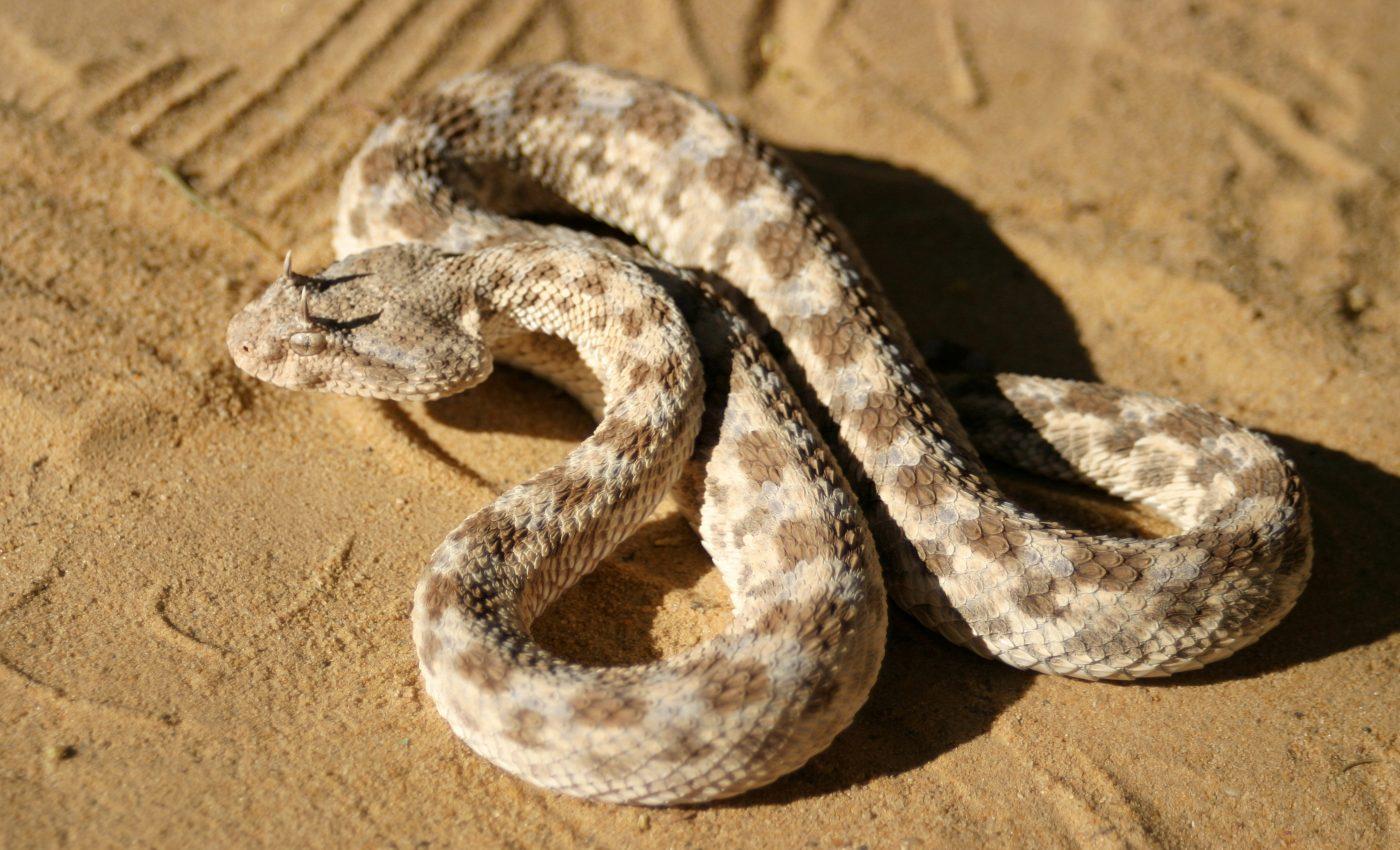 Desert Horned Viper