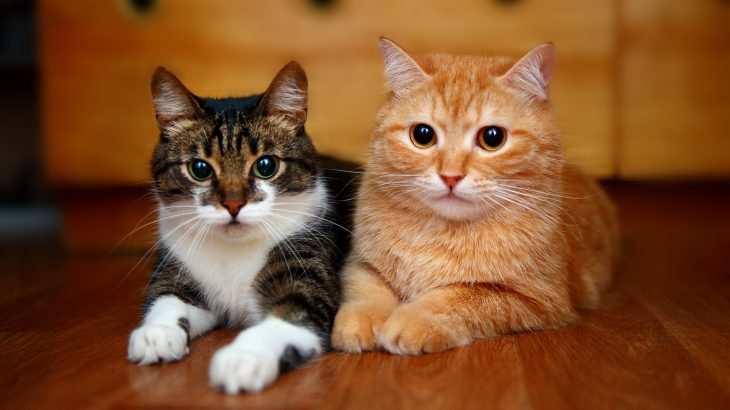 FIV is a virus, similar to HIV, that impacts a cat's immune system making them increasingly vulnerable to other illnesses.
