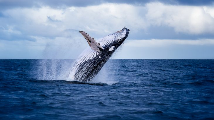 Although the population of humpback whales in the Australian Southern Ocean has almost completely recovered, their numbers are increasing at too rapid of a rate.