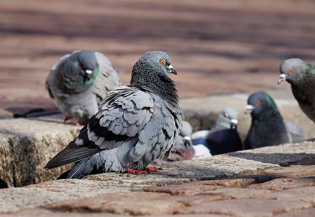 pigeon most adaptable animal on earth