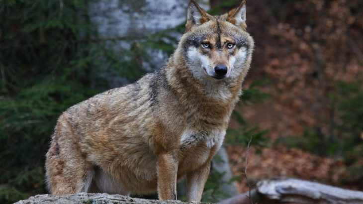 The United States Fish and Wildlife Service has announced a proposal to lift federal protections for gray wolves and revoke their endangered status in the lower 48 states.