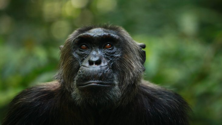 It is believed that chimps may act differently knowing humans are in such close range and may steer clear of actions that would inform hunters of their presence.