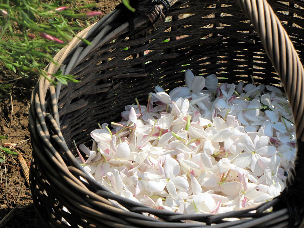 jasmine flowers basket