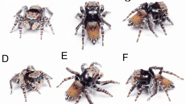Monash University research assistant Joseph Schubert has described three new peacock spider species, including Maratus combustus, pictured here. (Image credit: Joseph Schubert.)